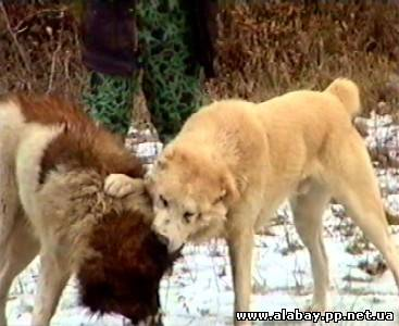 Кавказский волкодав, или кавказская пастушья собака 716872803